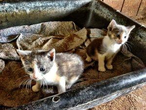 mini mac kittens